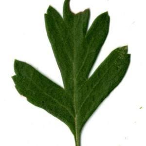 Photographie n°30670 du taxon Crataegus azarolus L. [1753]
