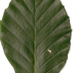 Photographie n°30711 du taxon Fagus sylvatica L.