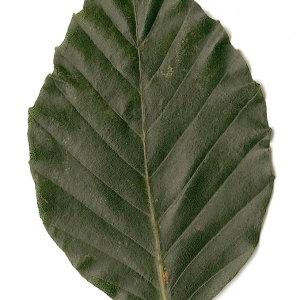 Photographie n°30712 du taxon Fagus sylvatica L.