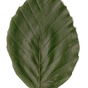 Photographie n°30713 du taxon Fagus sylvatica L.