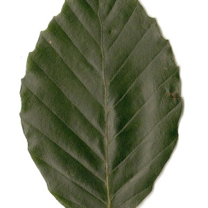 Photographie n°30715 du taxon Fagus sylvatica L.