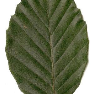 Photographie n°30717 du taxon Fagus sylvatica L.