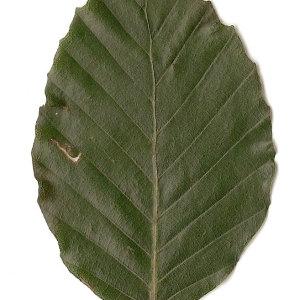 Photographie n°30718 du taxon Fagus sylvatica L.