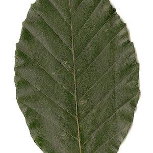 Photographie n°30719 du taxon Fagus sylvatica L.