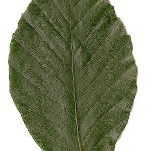 Photographie n°30720 du taxon Fagus sylvatica L.