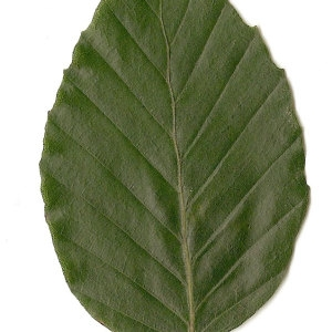 Photographie n°30721 du taxon Fagus sylvatica L.