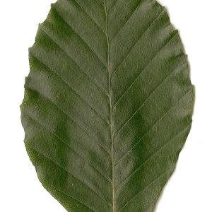 Photographie n°30722 du taxon Fagus sylvatica L.