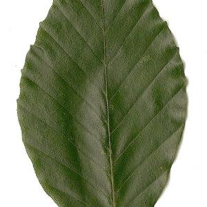 Photographie n°30723 du taxon Fagus sylvatica L.