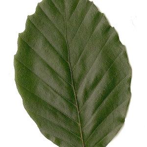 Photographie n°30724 du taxon Fagus sylvatica L.