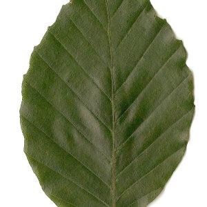 Photographie n°30725 du taxon Fagus sylvatica L.