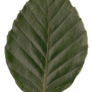 Photographie n°30726 du taxon Fagus sylvatica L.