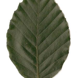 Photographie n°30727 du taxon Fagus sylvatica L.