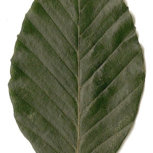 Photographie n°30728 du taxon Fagus sylvatica L.