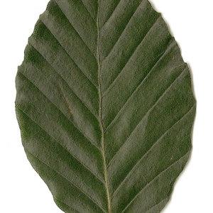 Photographie n°30729 du taxon Fagus sylvatica L.