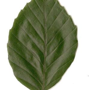 Photographie n°30730 du taxon Fagus sylvatica L.