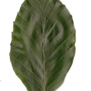 Photographie n°30731 du taxon Fagus sylvatica L.