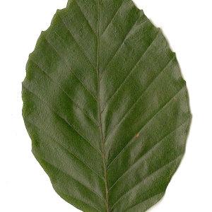 Photographie n°30732 du taxon Fagus sylvatica L.