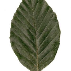 Photographie n°30733 du taxon Fagus sylvatica L.