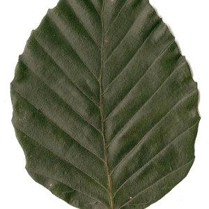 Photographie n°30734 du taxon Fagus sylvatica L.