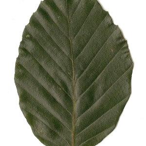 Photographie n°30735 du taxon Fagus sylvatica L.