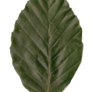 Photographie n°30737 du taxon Fagus sylvatica L.