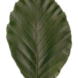 Photographie n°30738 du taxon Fagus sylvatica L.