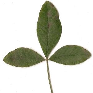 Photographie n°30840 du taxon Laburnum anagyroides Medik.