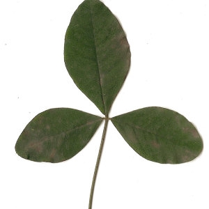 Photographie n°30841 du taxon Laburnum anagyroides Medik.