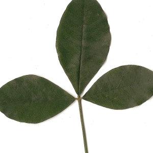 Photographie n°30845 du taxon Laburnum anagyroides Medik.