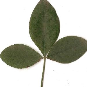 Photographie n°30847 du taxon Laburnum anagyroides Medik.
