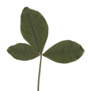 Photographie n°30848 du taxon Laburnum anagyroides Medik.