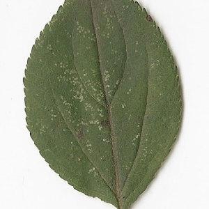 Photographie n°30895 du taxon Malus sylvestris Mill.