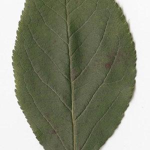 Photographie n°30898 du taxon Malus sylvestris Mill.
