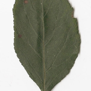 Photographie n°30900 du taxon Malus sylvestris Mill.