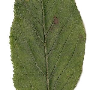 Photographie n°30901 du taxon Malus sylvestris Mill.