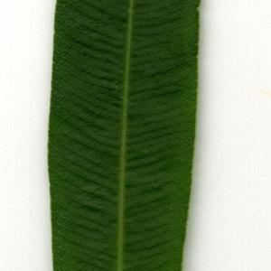 Photographie n°30910 du taxon Nerium oleander L. [1753]