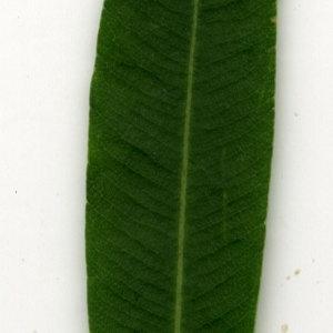 Photographie n°30911 du taxon Nerium oleander L. [1753]