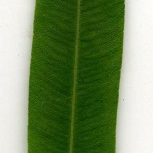 Photographie n°30913 du taxon Nerium oleander L. [1753]