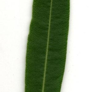Photographie n°30914 du taxon Nerium oleander L. [1753]