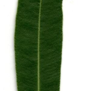 Photographie n°30915 du taxon Nerium oleander L. [1753]