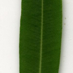 Photographie n°30916 du taxon Nerium oleander L. [1753]