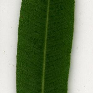 Photographie n°30917 du taxon Nerium oleander L. [1753]