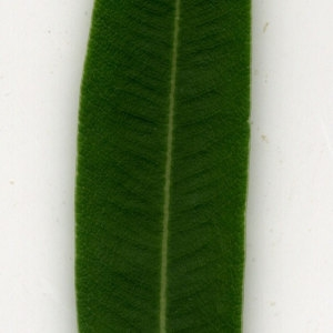 Photographie n°30918 du taxon Nerium oleander L. [1753]