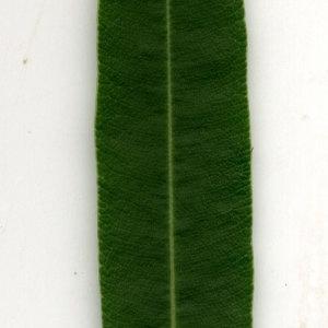 Photographie n°30919 du taxon Nerium oleander L. [1753]