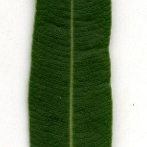 Photographie n°30920 du taxon Nerium oleander L. [1753]