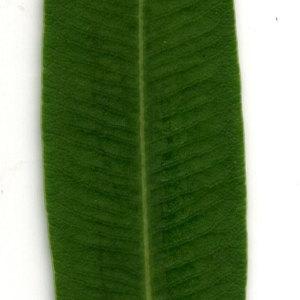 Photographie n°30921 du taxon Nerium oleander L. [1753]