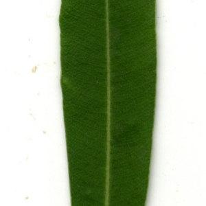 Photographie n°30922 du taxon Nerium oleander L. [1753]