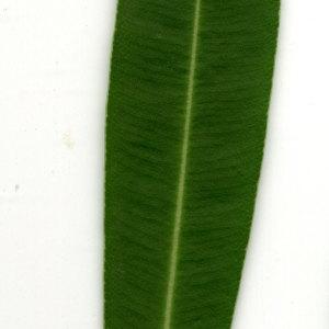Photographie n°30924 du taxon Nerium oleander L. [1753]