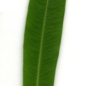 Photographie n°30925 du taxon Nerium oleander L. [1753]