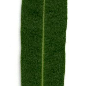 Photographie n°30926 du taxon Nerium oleander L. [1753]